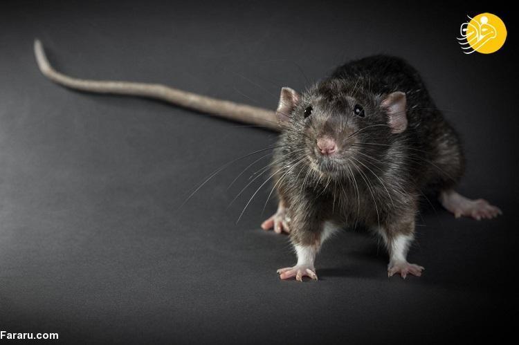 کرونا ممکن است موش های شهری را تهاجمی و خطرناک کند!