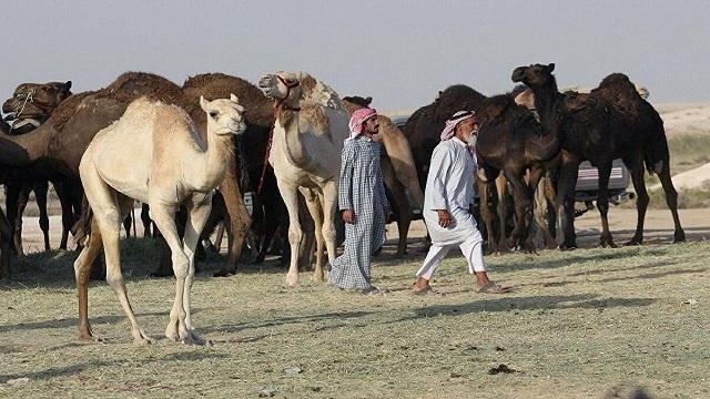 راه اندازی بیمارستان شتر در عربستان