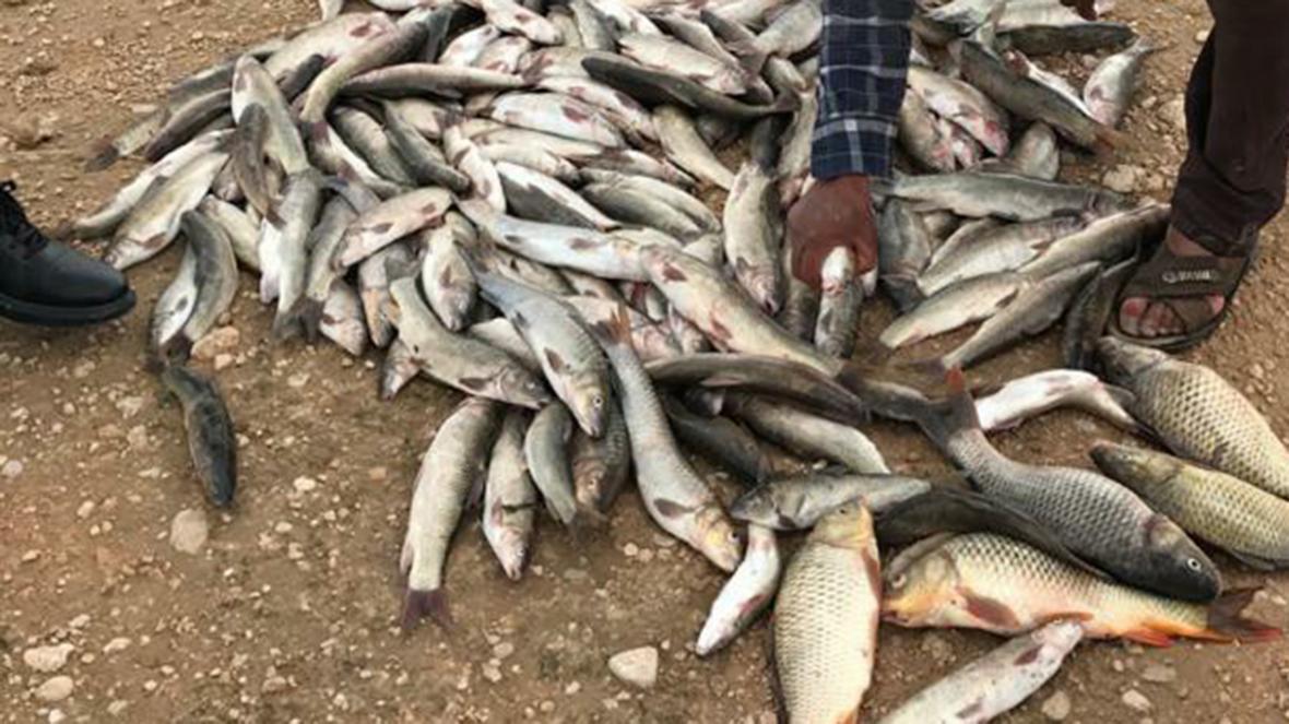 پیش بینی صید 170 تن ماهی گرمابی از سد سلمان فارسی
