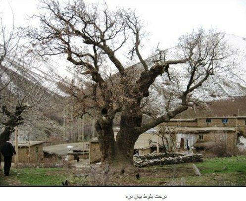 کردستان و کهنسال ترین درختان